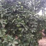 Árbol con pomelos