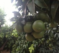 Racimo de pomelos en el árbol.
