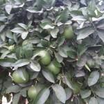 Pomelos verdes en el árbol