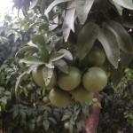 Racimo de pomelos