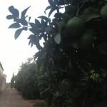Pomelos en los árboles