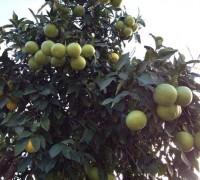 Pomelos en el árbol