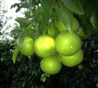 Pomelos madurando en el árbol.