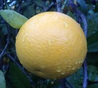 Pomelo amarillo o blanco en el árbol
