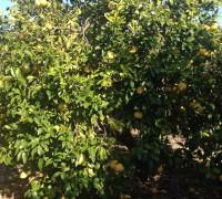 Árbol de pomelos blancos.