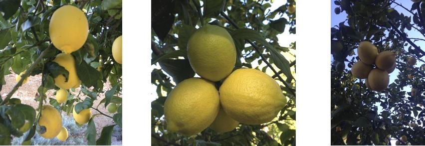 En la tienda online de comprar pomelos, puedes comprar limones naturales.