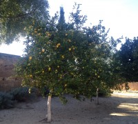 Ya puedes comprar limones en comprar pomelos.