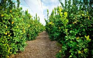 Cultivo del limonero lunero, cuidados y poda.