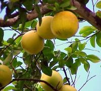 Temporada del pomelo en España - Comprar Pomelos