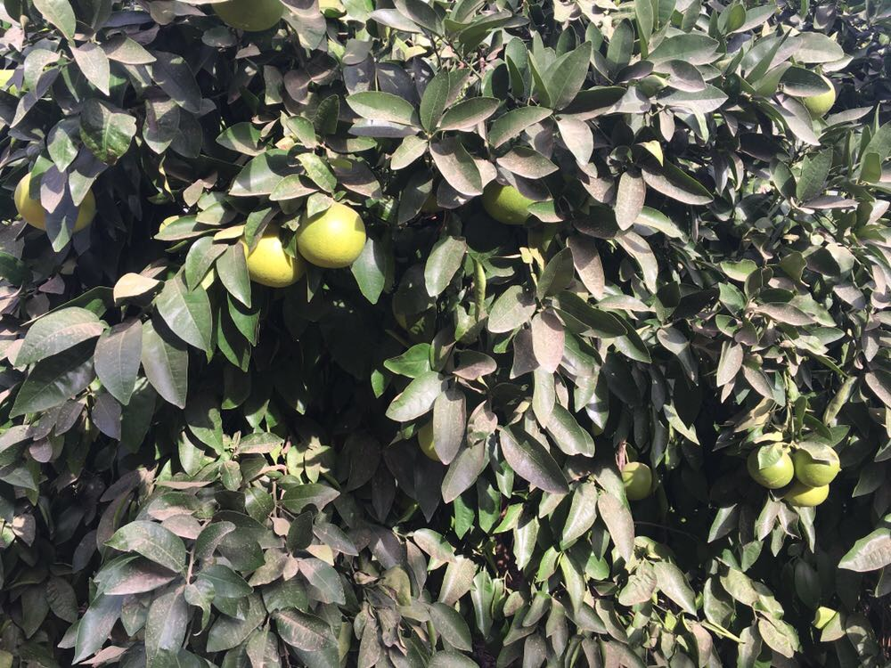 temporada del pomelo