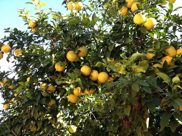 árbol de pomelo