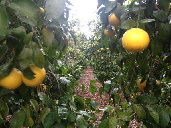 campo con árbol de pomelo
