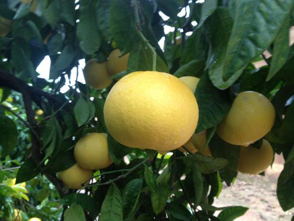 cultivar árbol de pomelo para pomelo de calidad