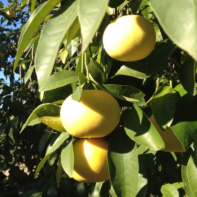 pomelos-blancos